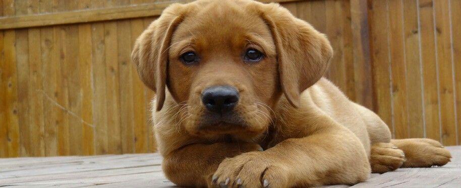 So Beautiful Welpen Babyhunde Labrador Retriever