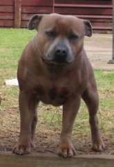 English Staffordshire Bull Terrier Purebred Puppies Puppies For Sale Bowning New South Wales Staffordshire Bull Terrier Dogs For Sale In Http Www Pups4s