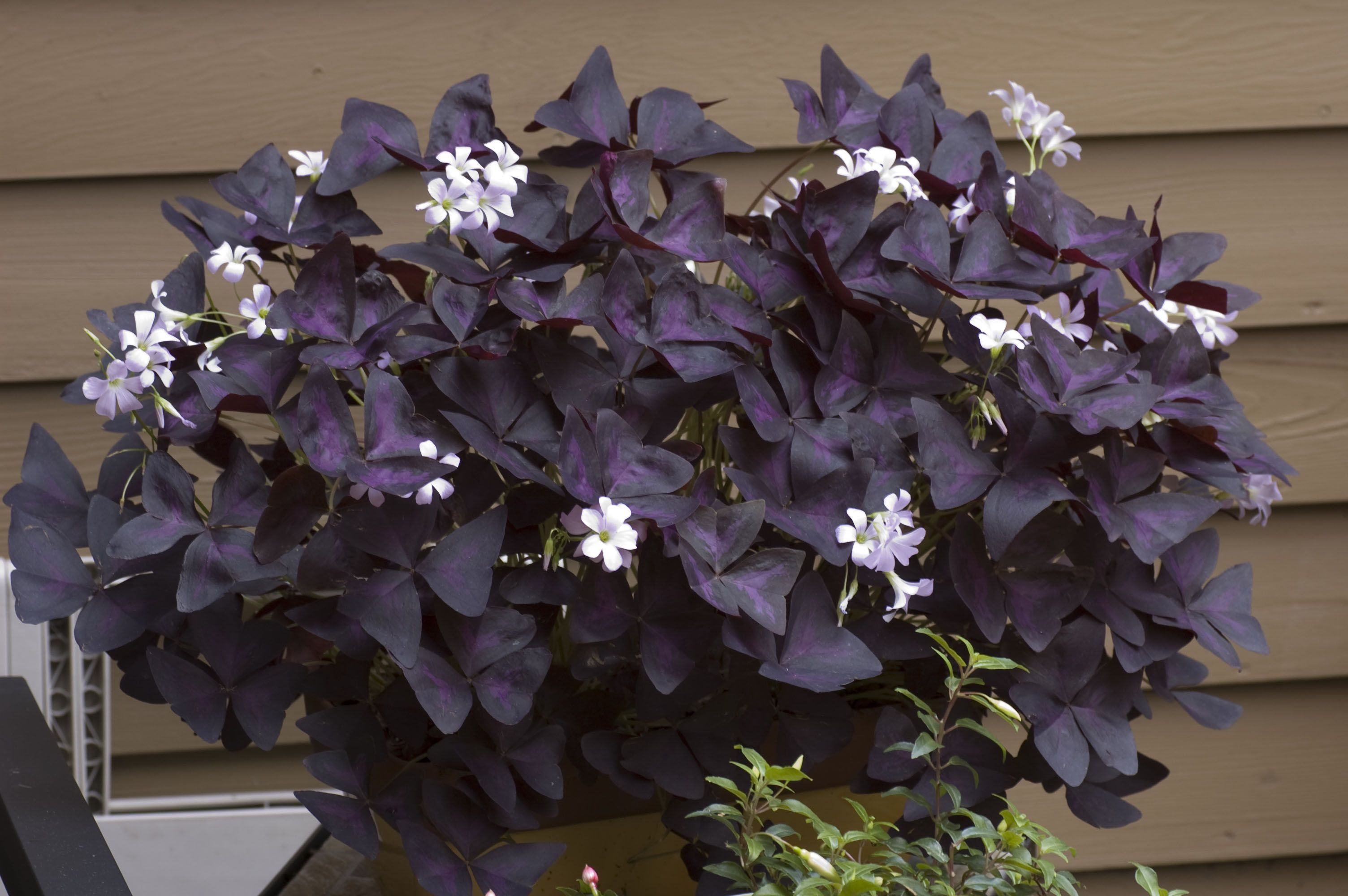 Single planting of purple leaf oxalis garden container gardening oxalis purple leaf shamrock wood sorrel flowering plants are low growing foliage garden plant also for attractive indoor plant best flowering houseplants mightylinksfo Gallery