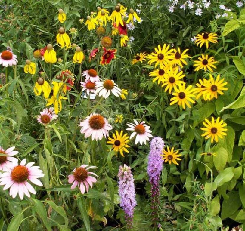 Perennial Wild Flower Seed Mix,(Mixtures for Special Uses) 1 oz Covers approximately 225 square feet