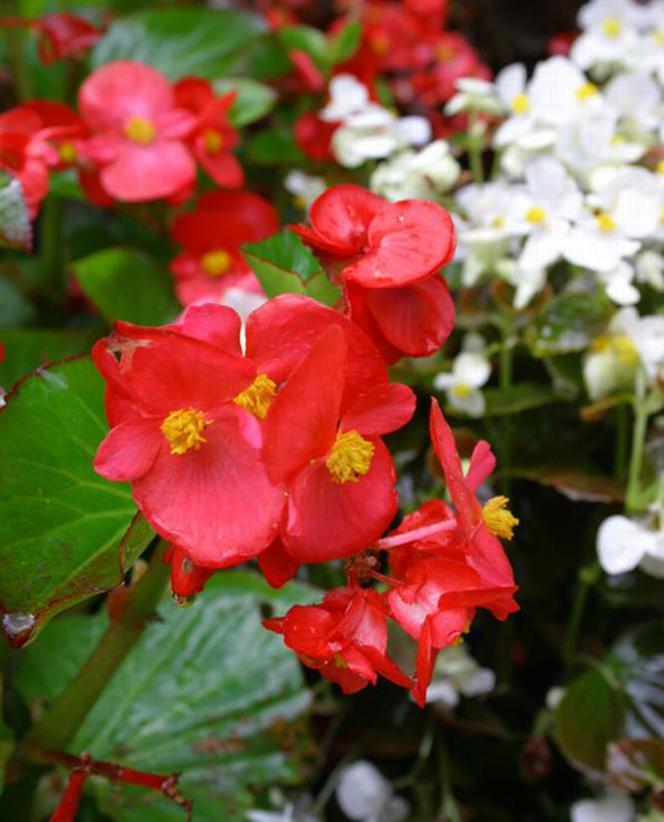 Begonia Stale Kwitnaca Wdzieczna Ozdoba Ogrodu Murator Pl Begonia Flowers Plants