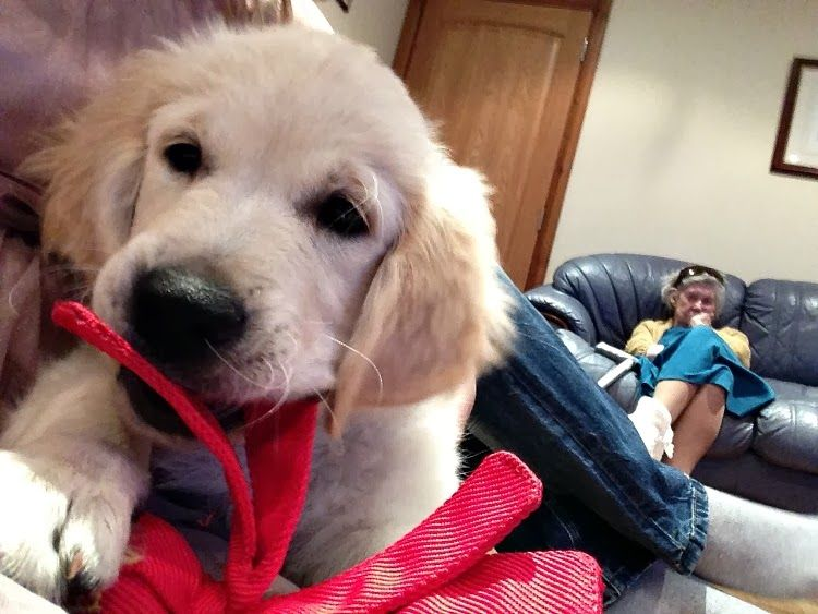 Christmas day golden retriever puppy golden retriever