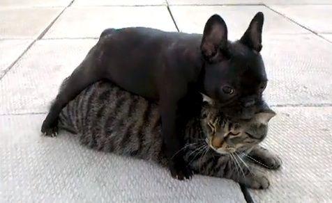Cute French Bulldog Puppy Cuddles Her New Feline Friend Video