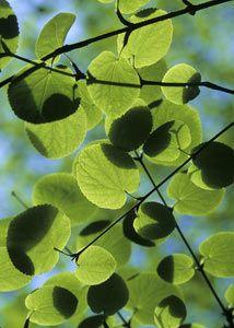 Heronswood Katsura Tree Mcauliffe S Valley Nursery Snohomish Wa Deciduous