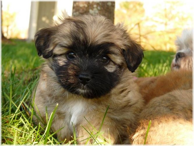 shih tzu pomeranian mix puppies for sale pomeranian shih tzu mix google zoeken dinosaur 1952