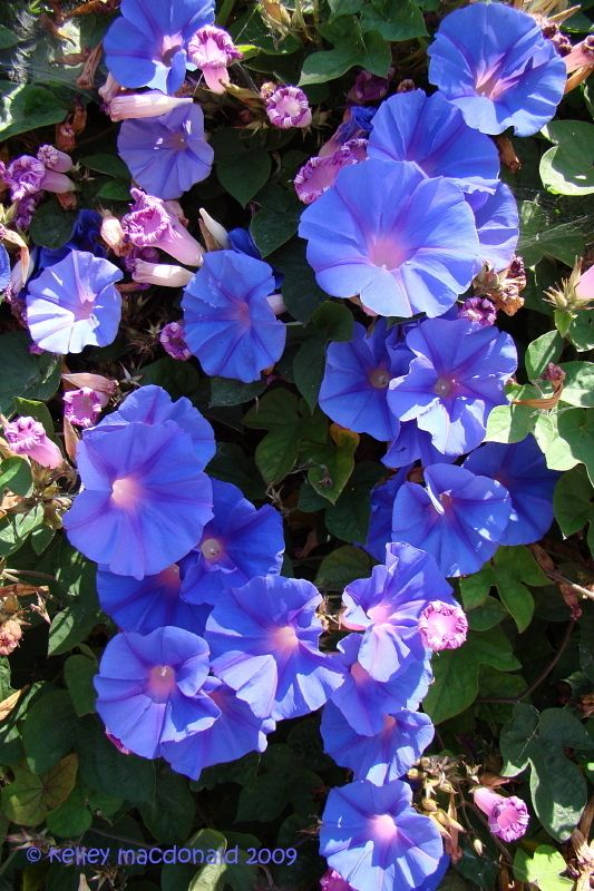 Ipomoea Indica Flowers Morning Glory Plants