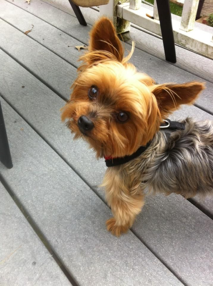 Love me some Yorkshire Terrier Yorkie dogs, Yorkshire