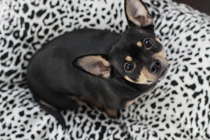 Lil Buddy on his cozy Harry Barker Hemp Safari Dog Bed