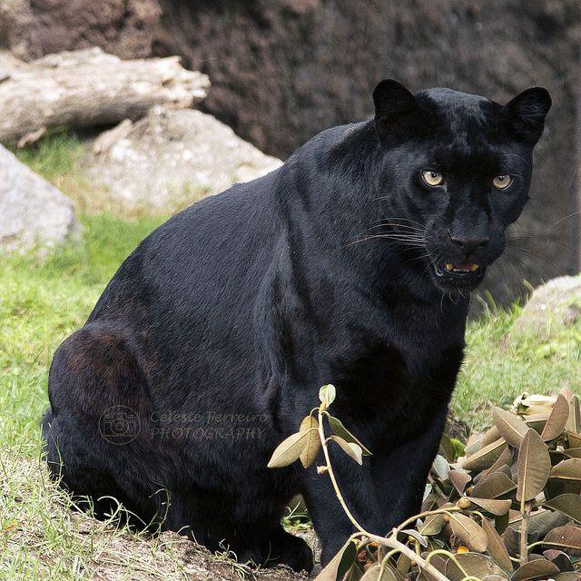 pantera negra y puma
