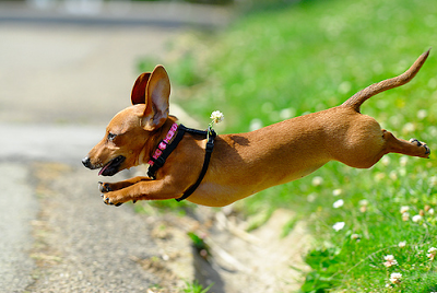 Resultado de imagen para dachshund jumping