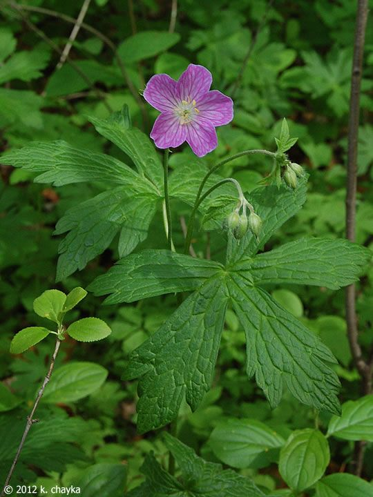 Wild geranium mn plants pinterest wildflowers gardens and plants photos and information about minnesota flora wild geranium flower 1 to inches across 5 pink to lavender petals with 10 yellow tipped stamens mightylinksfo Image collections