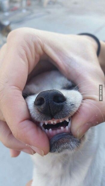 Puppy Teeth Puppies Cute Dogs Cute Animals