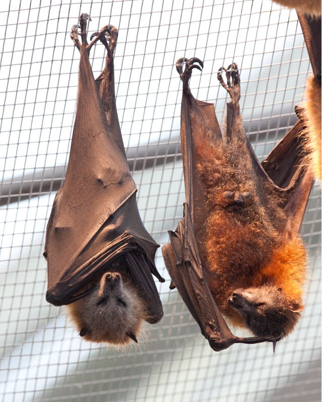 Grayheaded flying fox largest bat in Australia and can