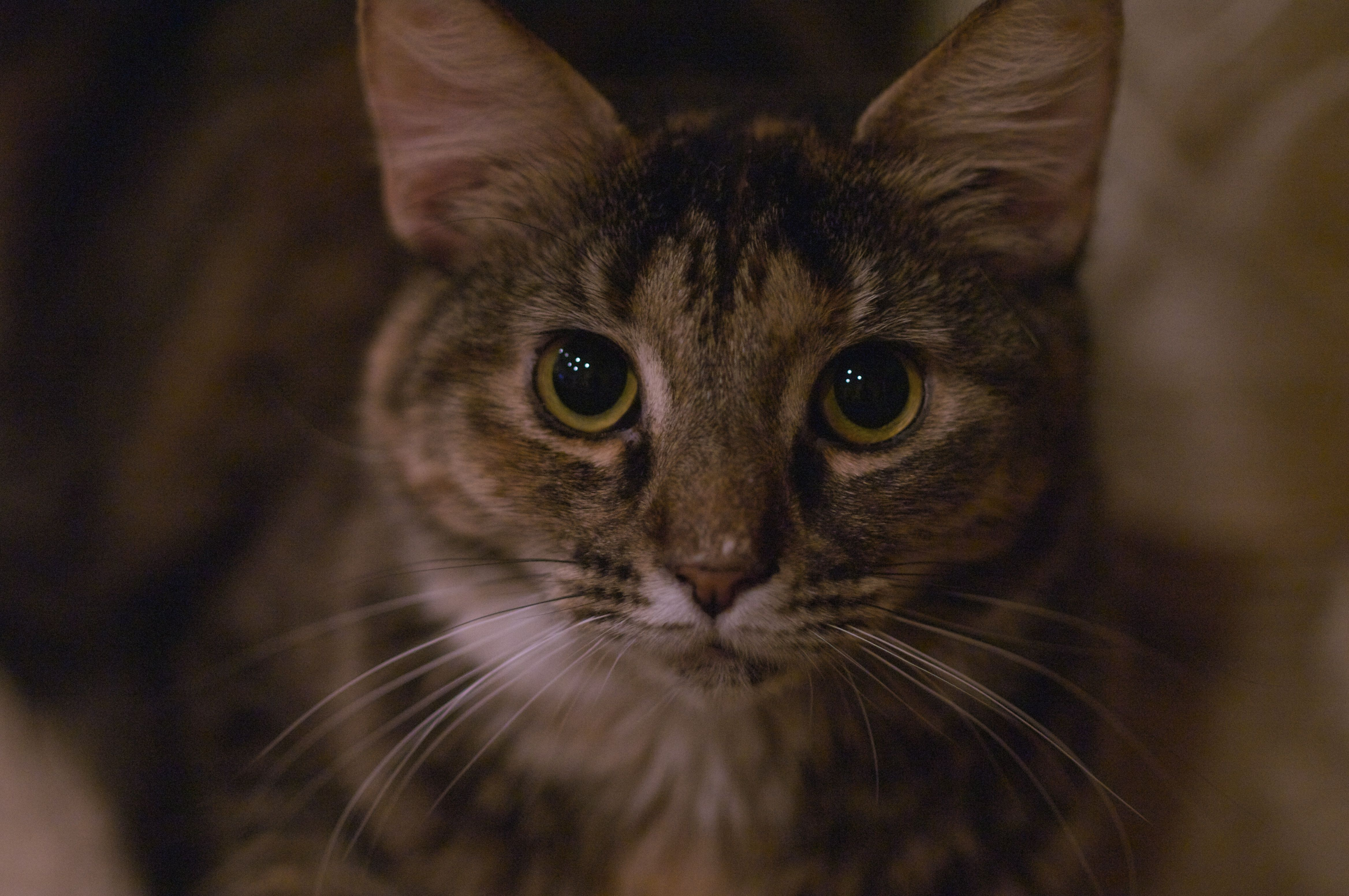 Lucy 2 Years Old Female Cat Adoption Cats Animals