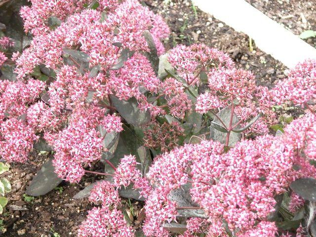 10 of the Best Fall Perennial Flowers: Sedum (Stonecrop)