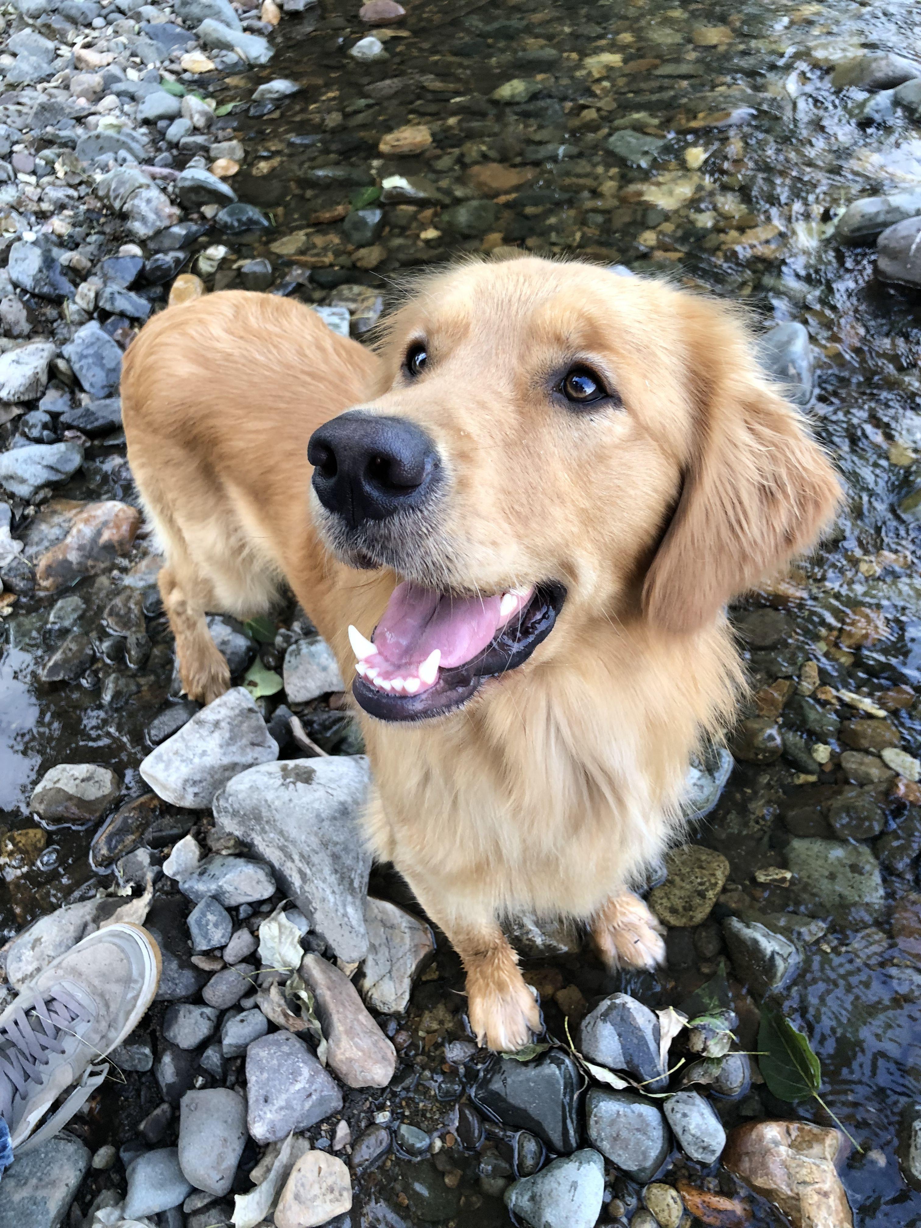 Golden Hour Golden Retriever Goldenretriever Dogs Golden Retriever Golden Retriever Retriever