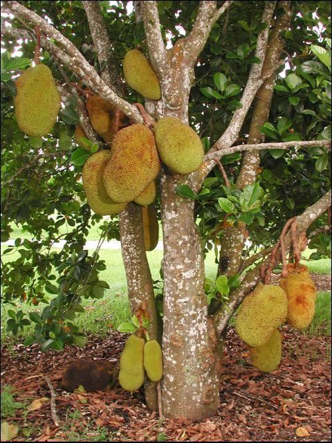 Useful Tropical Plants: Jackfruit Growing In The Florida Home Landscape -- Figure