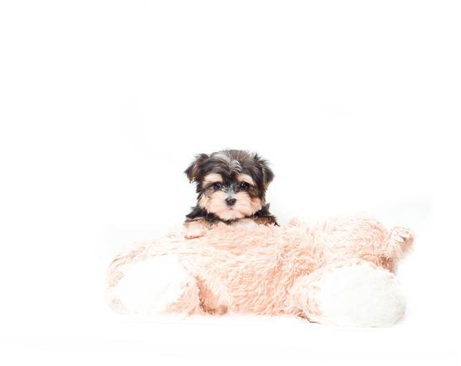 Micro Teacup David Beckham Is One Of Our Morkie Puppies For Sale Near Toledo Ohio This Little Guy Is Goi Morkie Puppies Morkie Puppies For Sale Cute Animals