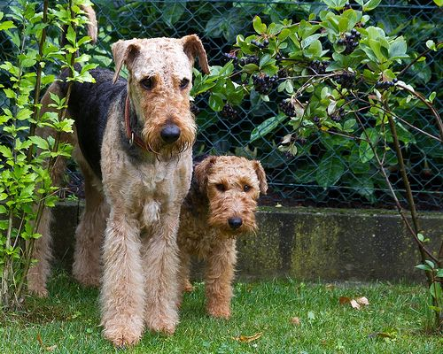 Airedale Welsh Airedale Terrier Puppies Airedale Dogs Retriever Dog