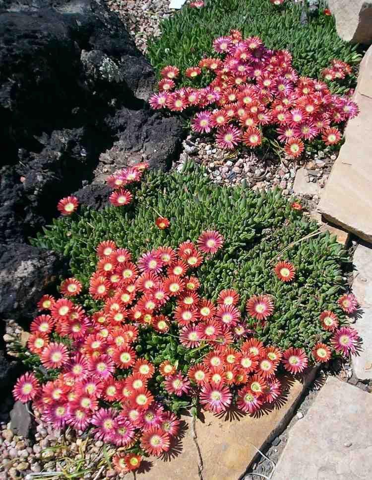 pflanzensteingartenmittagsblumedelospermapink  Garten