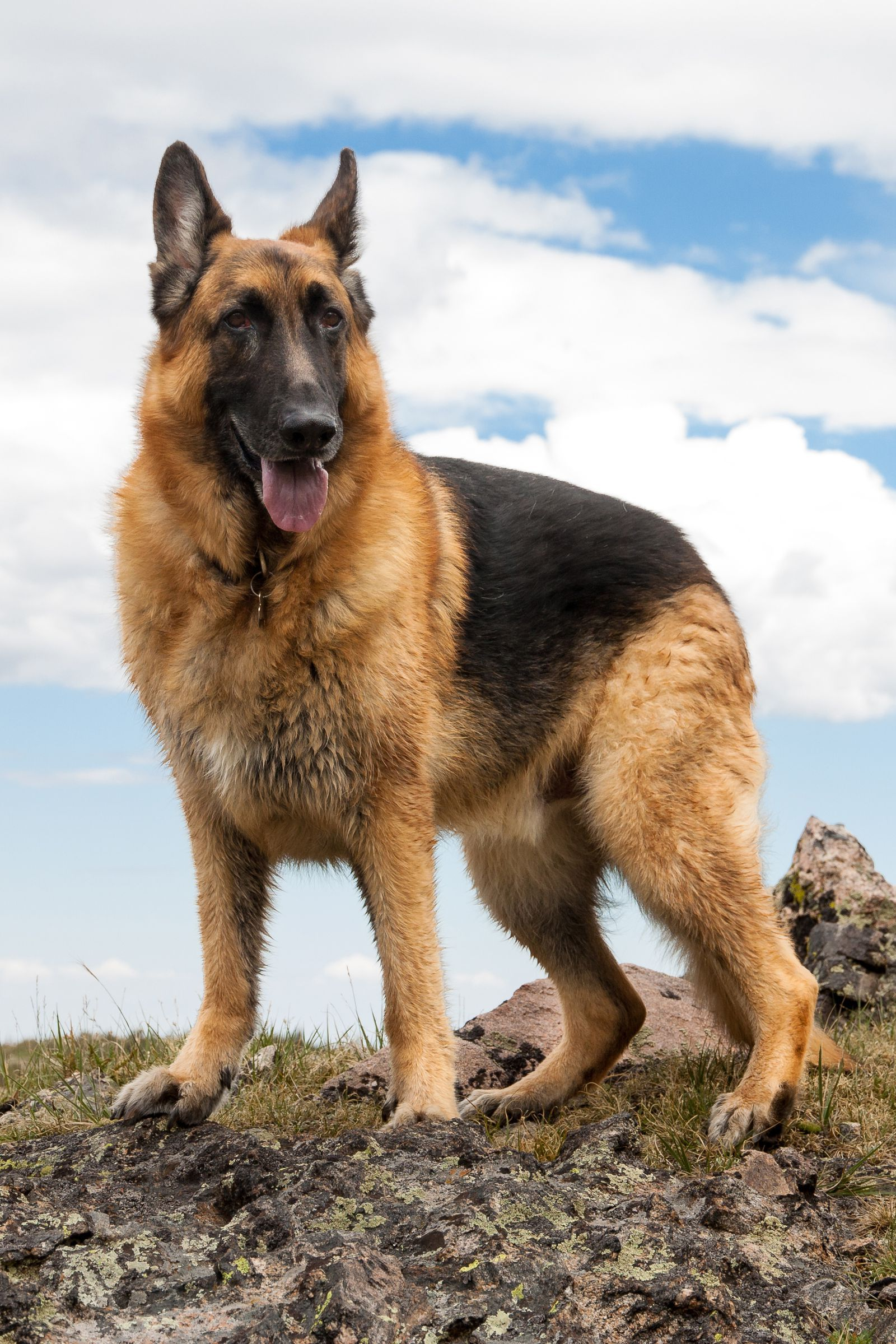 13 Best Guard Dogs To Protect Your Family And Home Best Guard