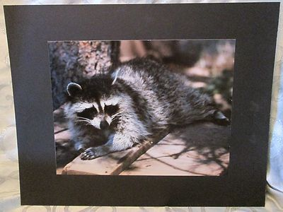 16 x 20 Mounted Original Color Photograph Raccoon for Interier Walls | eBay