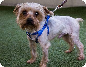 Mission Viejo, CA Yorkie, Yorkshire Terrier/Silky