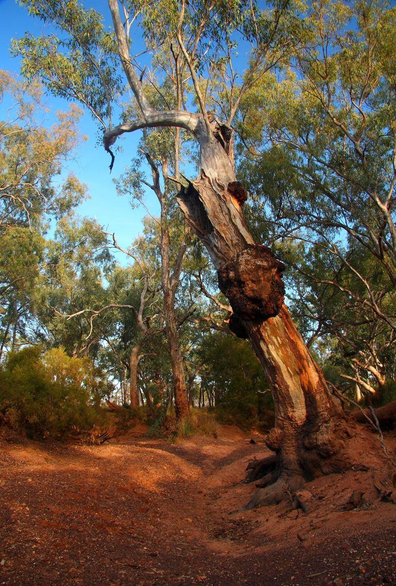 River Red Gum Eucalyptus Camaldulensis Mangalla Creek