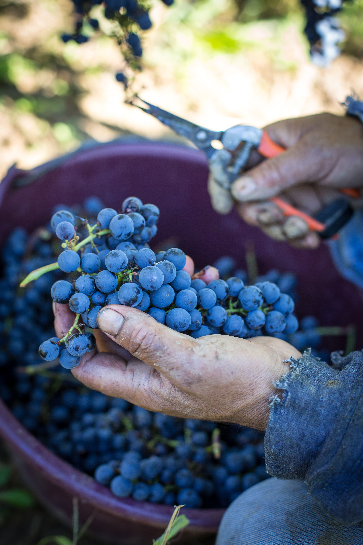 Observation ! Grapes, Italian vineyard, Italian wine