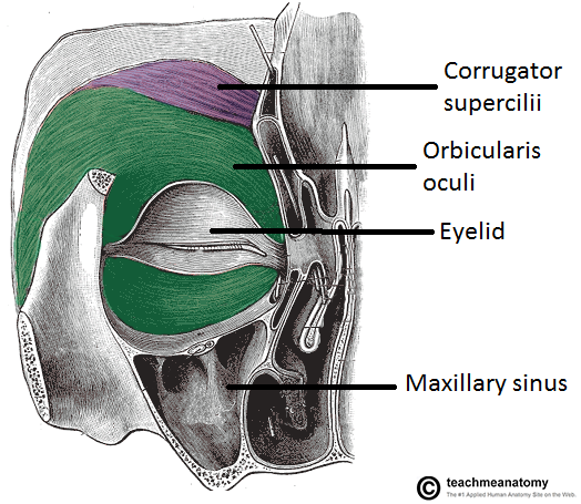 corrugator supercilii - google search | anatomy face | pinterest, Human Body