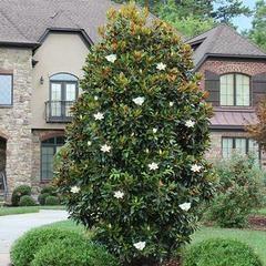 Photo of Blue Wonder Spruce Tree