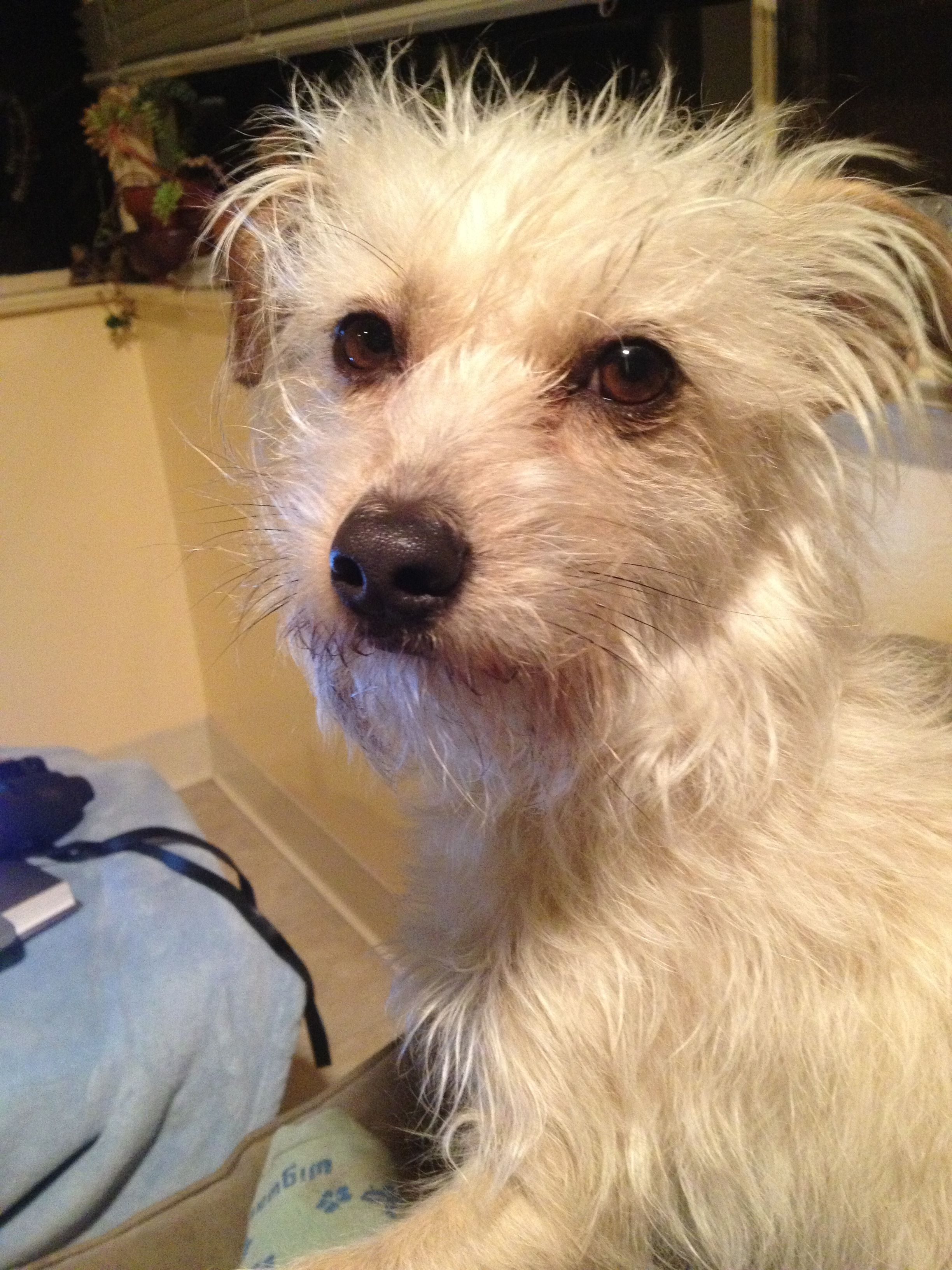 Mojo the pound puppy Poodle terrier mix Pinterest