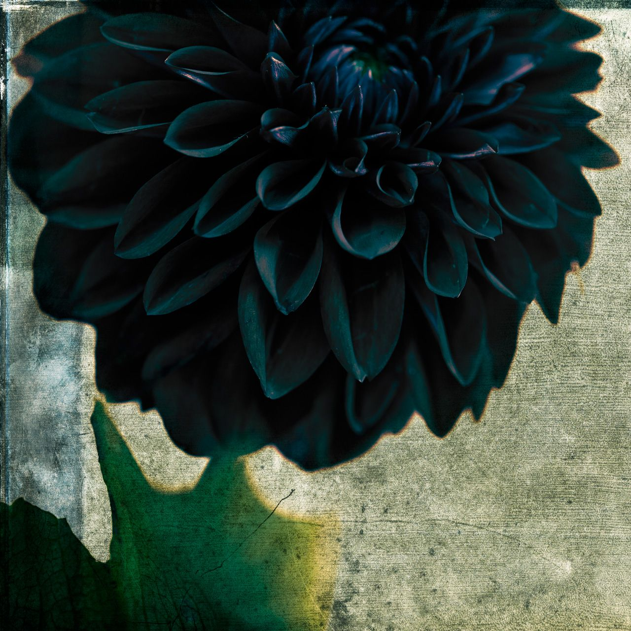 Stanford Photography Black And Blue Dahlia Botanic Ritual