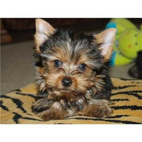 13 Weeks Old Yorkie Puppies Needing A New Home Male And Female Contact Us For More Info Via Text 646 741 4766 They Yorkie Puppy Teacup Yorkie Puppy Yorkie