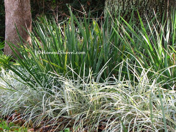 Variegated Aztec Grass And African Iris With Hamelias Behind The
