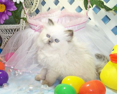Himalayan kittens for sale vancouver