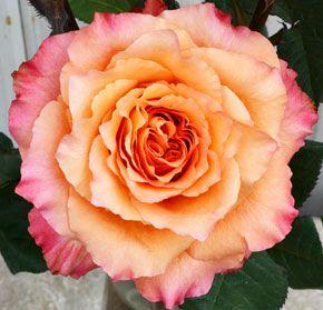 Rose - free spirit