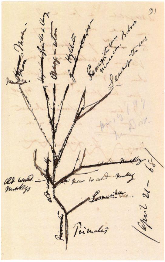 Charles Darwin Sketch Of Primates Evolutionary Tree 1868