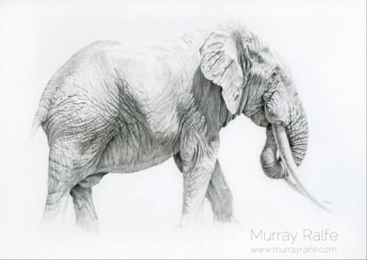 """""""Letaba"""" African Elephant pencil drawing by Murray Ralfe"""