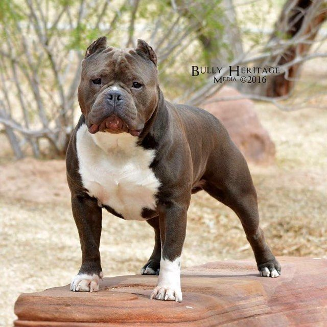 Ast American Bull Bully Americanbully By Americanbully