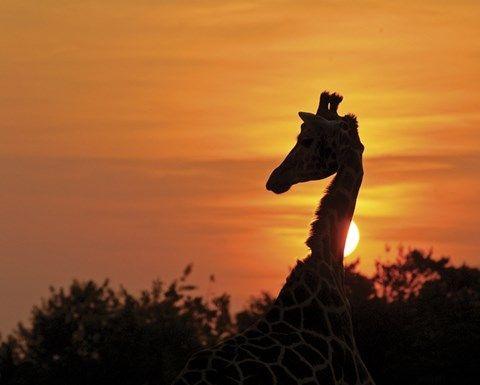 Dierentuin SafariPark Beekse Bergen; op safari door het Afrikaanse landschap. Je komt oog in oog te staan met de leeuwen, olifanten en roofvogels.