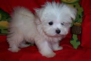 Image Detail For Teacup Maltipoo Puppies For Sale Uk Cute