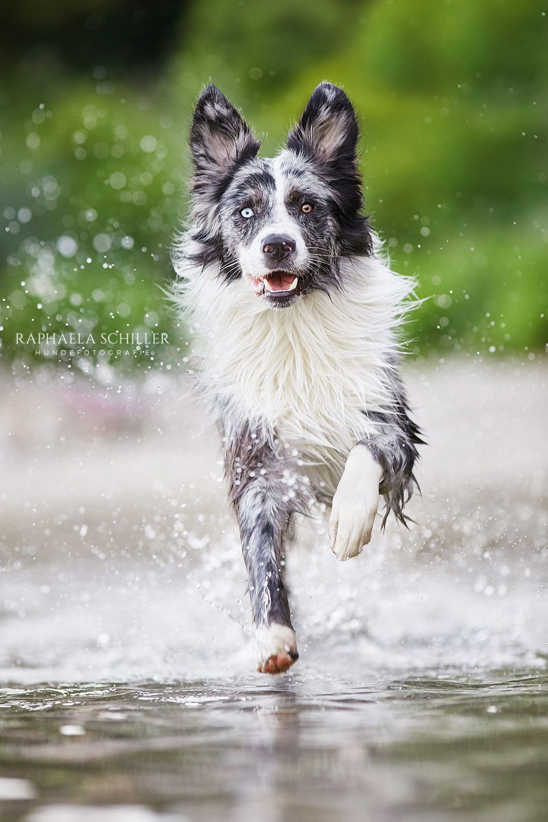 Pin By Soosyn On Animal Smiles Dog Photography Australian Shepherd Dogs