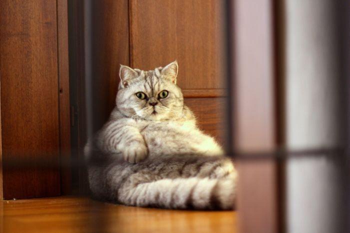 big fat kitty cats | Fat Cat Giuly is a New Internet Sensation - Visboo.com