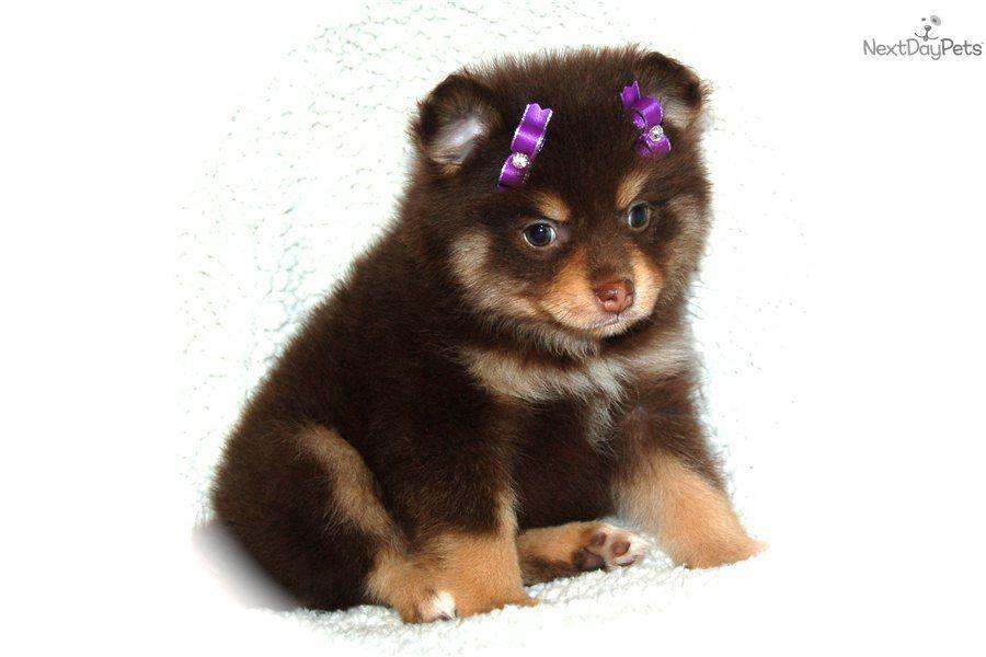 Pomeranian For Sale Pomeranian Puppy For Sale Cute Pomeranian
