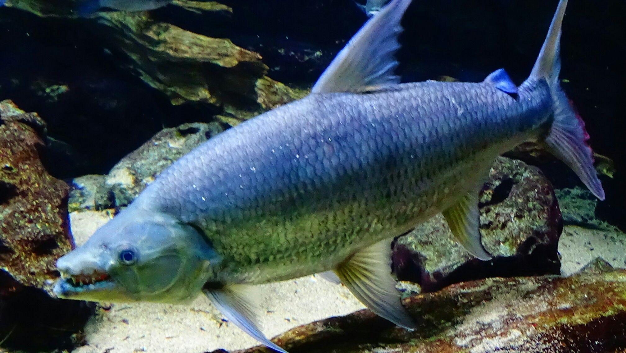Freshwater fish killers - Hydrocynus Goliath Freshwater Fishsummarybizarre