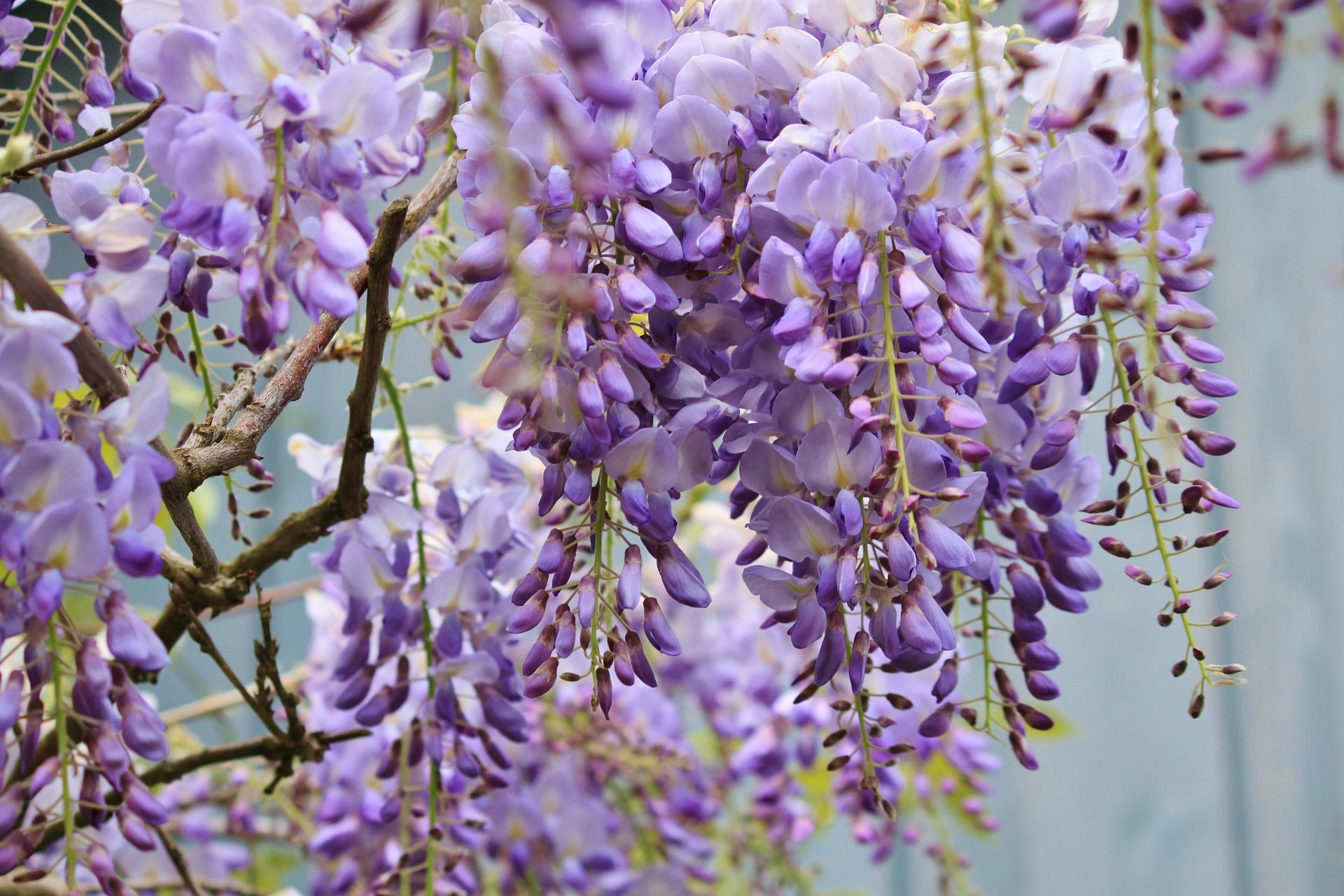 Wisteria Wisteria Plant Flowering Vines Smelling Flowers