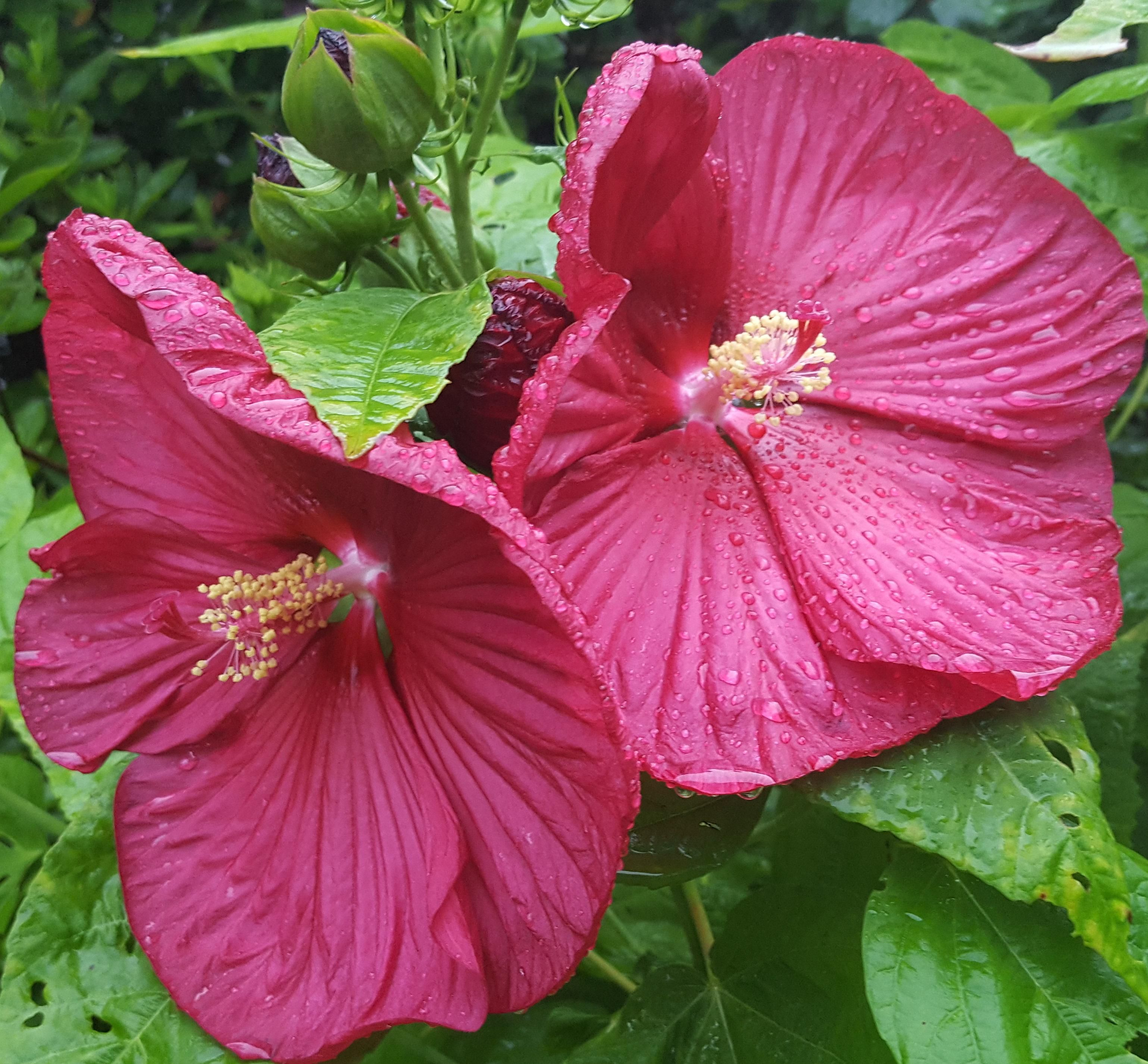 Hardy Hibiscus Hibiscus Moscheutos Blooming After A Successful