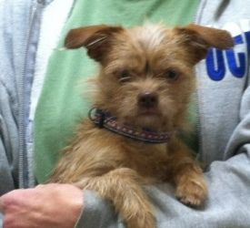 Moxie is an adoptable Yorkshire Terrier Yorkie Dog in Lexington, KY