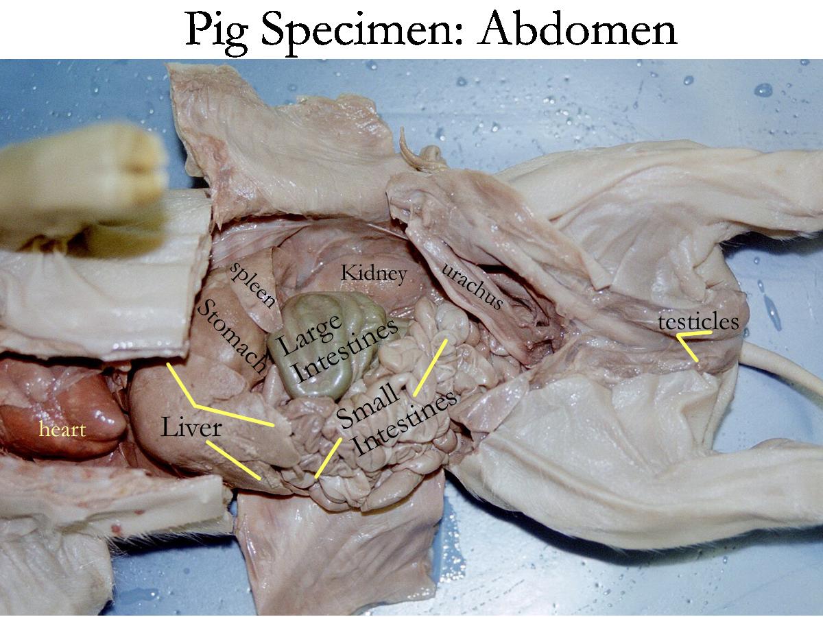 Pig Dissection - abdomen   Pig dissection, Dissection, Vet med